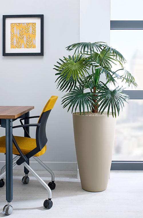 prospect plants design chinese fan palm