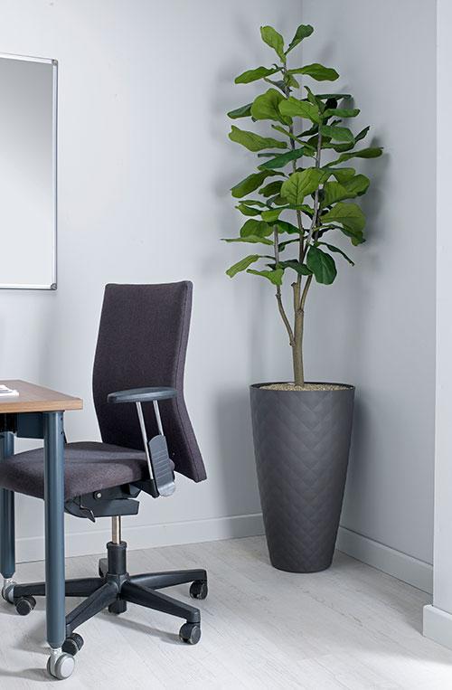 prospect plants design fiddle leaf fig