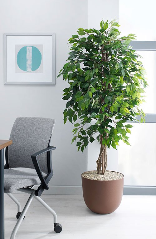 prospect plants design green weeping fig