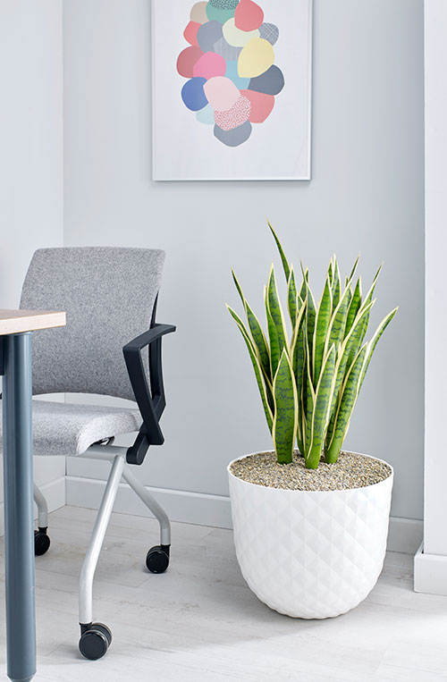 prospect plants design mother in laws tongue