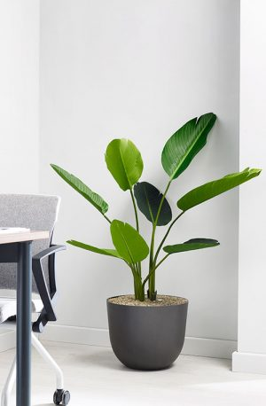 prospect plants design strelizia