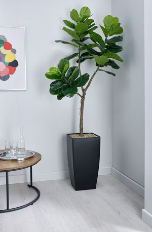 prospect plants essential fiddle leaf fig