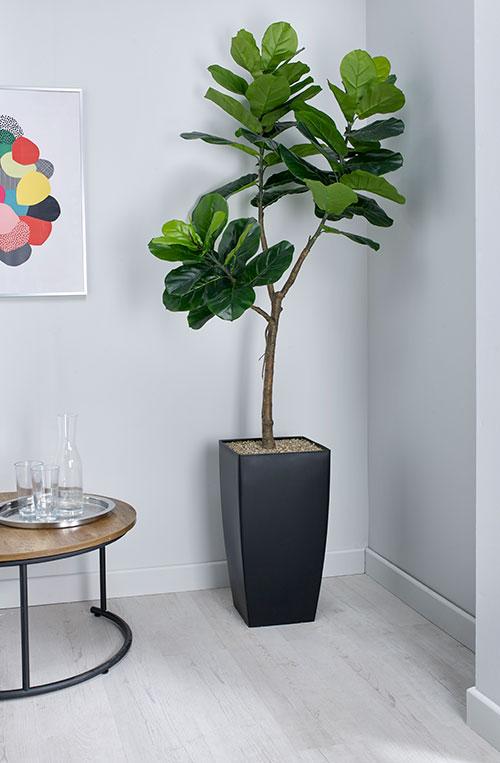 prospect plants essential fiddle leaf fig