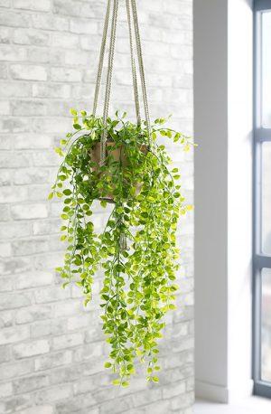 prospect plants hanging plants trailing ficus pumila