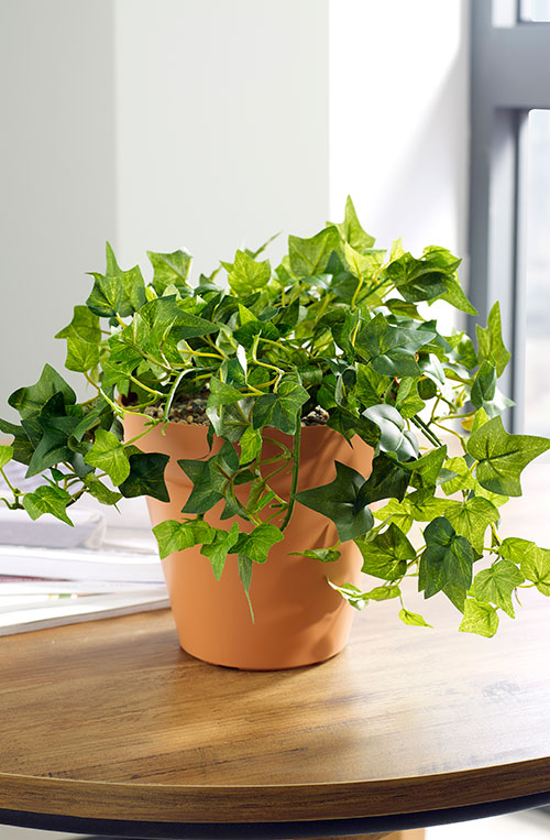 prospect plants table top ivy